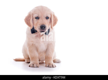 Sitting puppy of golden retriever with bow tie over white background, shallow focus - Stock Photo