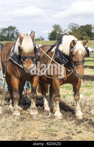 Comtois horse, draft horse in harness - Stock Photo