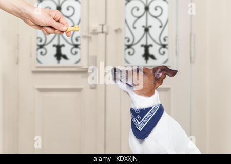 jack russell dog  getting a cookie bone treat for good behavior, dog waiting to go for a walk with owner - Stock Photo