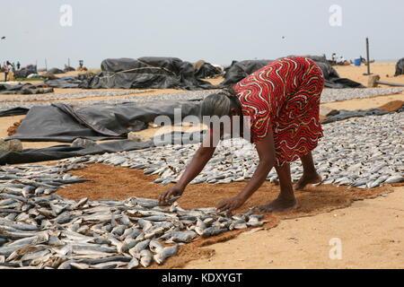 Frau beim auslegen frischer Fische zum Trocknen in der Sonne - Woman laying out fresh fish for drying in the sun - Stock Photo