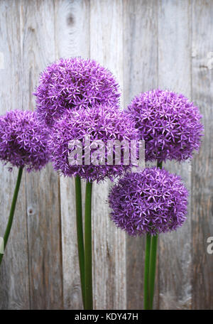 Allium blooming against a weathered fence - Stock Photo