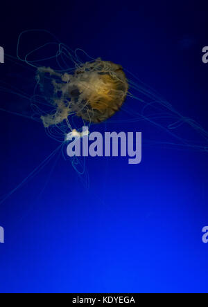 Close-Up Of Jellyfish Swimming In Aquarium, Osaka, Japan - Stock Photo