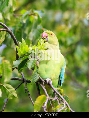 Cute feral ring-tailed parakeet, also rose-ringed parakeet (Psittacula krameri) perched on a lush green tree in - Stock Photo