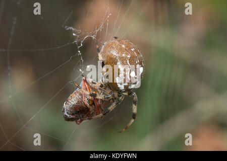 Close-up of a four-spot orbweaver spider that has caught prey, a shieldbug - Stock Photo