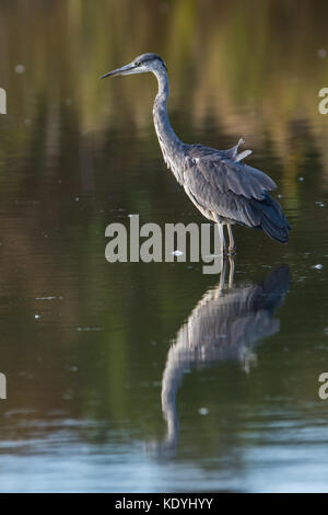 The Grey Heron (Ardea cinerea) waits patiently, stock-still, for prey/fish in the marsh, Uppland, Sweden - Stock Photo