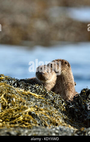 European otter cubs (Lutra lutra) UK - Stock Photo