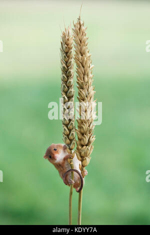 Harvest mouse (Micromys minutus) UK on ear of corn - Stock Photo
