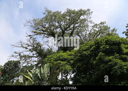 Giant Ceibo tree (Erythrina crista-galli) at El Ceibo restaurant, Ruta 32, Guápiles, Limón province, Caribbean Sea, - Stock Photo