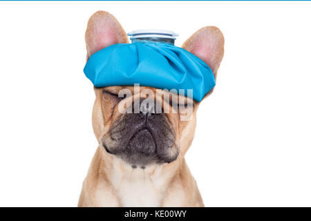 french bulldog dog  with  headache and hangover with ice bag or ice pack on head, eyes closed suffering , isolated - Stock Photo