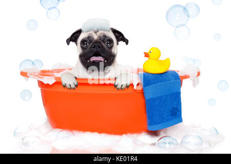 pug dog in a bathtub not so amused about that , with yellow plastik duck and towel, covered in foam , isolated on - Stock Photo