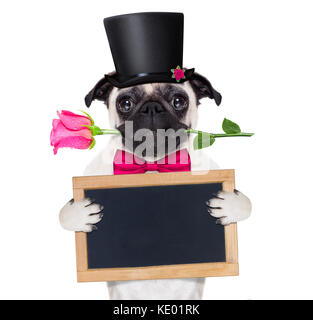 pug   dog looking and staring at you   , with a valentines rose in mouth,holding empty blank blackboard or placard, - Stock Photo