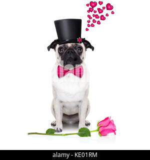 pug   dog looking and staring at you   , with a valentines rose on floor,  isolated on white background - Stock Photo
