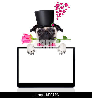 pug   dog looking and staring at you   , with a valentines rose in mouth,  isolated on white background, behind - Stock Photo