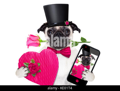 pug   dog looking and staring at you   , with a valentines rose in mouth,  isolated on white background, taking - Stock Photo