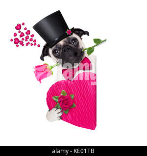 pug   dog looking and staring at you   , with a valentines rose in mouth,beside a blank banner or placard,   isolated - Stock Photo