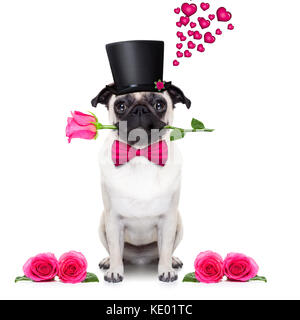 pug   dog looking and staring at you   , with a valentines rose in mouth,  isolated on white background - Stock Photo