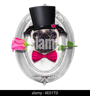 pug   dog looking and staring at you   , with a valentines rose in mouth,  isolated on white background, inside - Stock Photo