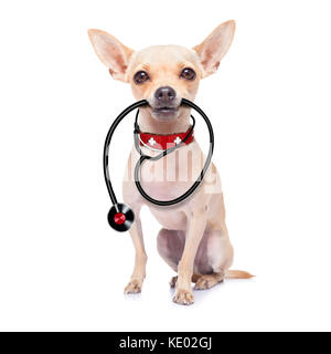 chihuahua dog as a medical veterinary doctor with stethoscope,isolated on white background - Stock Photo