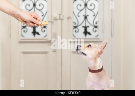 chihuahua  getting a cookie bone treat for good behavior, dog waiting to go for a walk with owner - Stock Photo