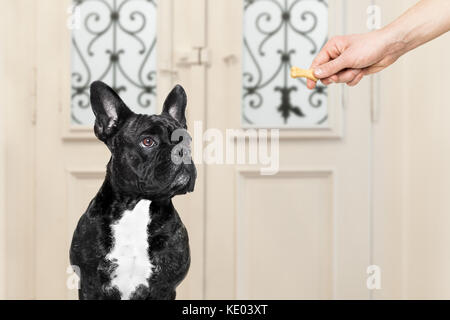 french bulldog getting a cookie bone treat for good behavior, dog waiting to go for a walk with owner - Stock Photo