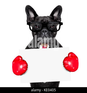 french bulldog boxing dog with big red gloves ,businessman , manager, or secretary isolated on white background, - Stock Photo