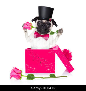 pug dog with valentines day rose in mouth , jumping out of a present or gift box , as surprise, isolated on white - Stock Photo
