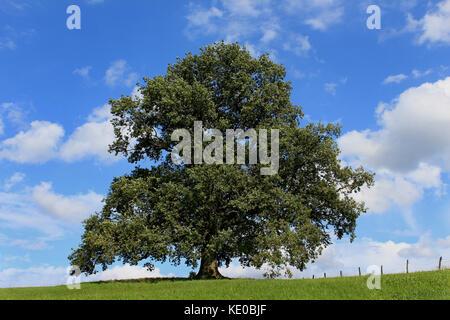 aprox. 300 years old oak tree in midsummer at arnsberg-wennigloh, hochsauerlandkreis, nrw, germany / etwa 300 jahre - Stock Photo