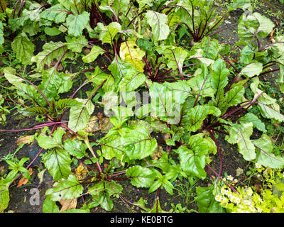 beetroot growing in a kitchen garden - Stock Photo