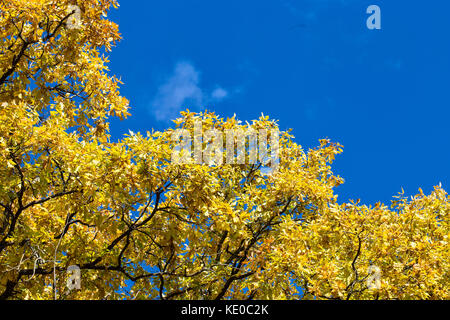 Fall oak crown leaves in the sunny windy day on the blue sky background - Stock Photo