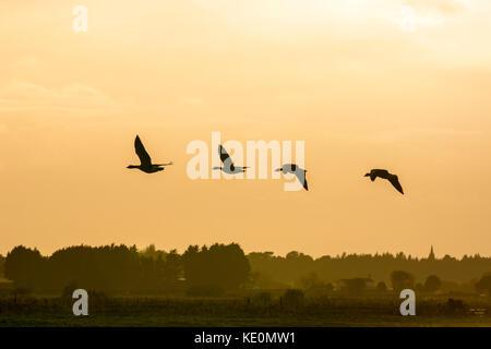 Burscough, Lancashire. UK Weather. 17th October, 2017. Calm amber evening over Martin Mere as flocks of geese return - Stock Photo