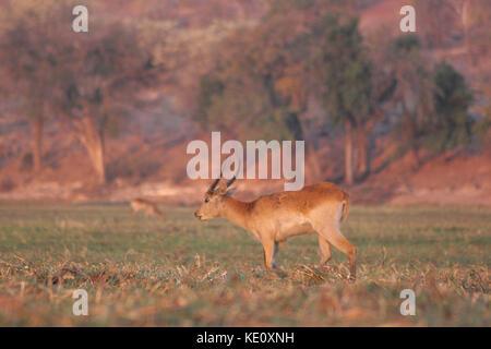 Red Lechwe in Chobe National Park, Botswana - Stock Photo