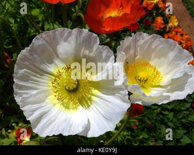 A closeup of two white poppies in a park in Australia on a bed of pansies - Stock Photo
