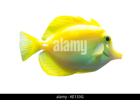 Yellow tang fish isolated on white background - Stock Photo