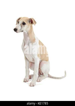Sitting Whippet puppy studio shot on white background - Stock Photo