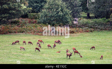 A herd of Red Deer grazing in an English Park in Autumn with Stag and Hinds - Stock Photo