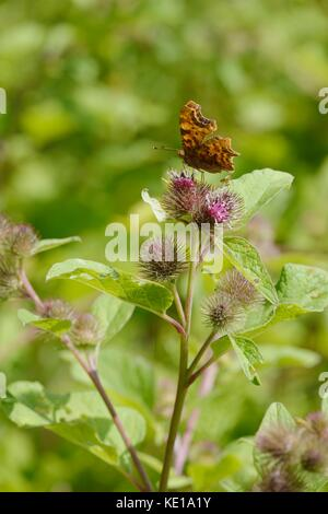 Comma butterfly, Polygonia c album feeding on Greater Burdock flowers, Arctium lappa, Wales UK. - Stock Photo