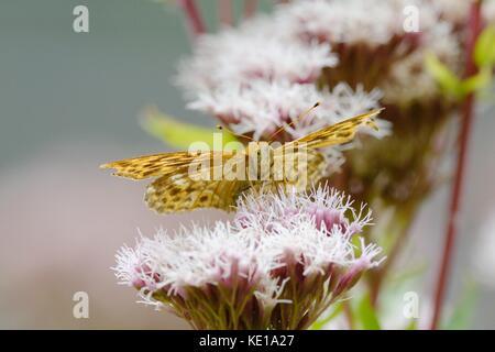 Silver-washed fritillary, Argynnis paphia feeding on Hemp Agrimony, Eupatorium cannabium flower, Wales, UK - Stock Photo