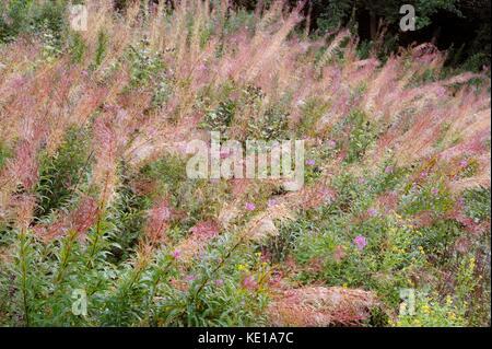 Epilobium angustifolium, Chamaenerion angustifolium, Chamerion angustifolium, Rosebay Willowherb or Fireweed seedheads, - Stock Photo