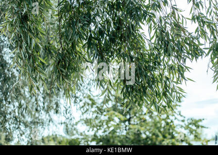 A close-up of the willow leaves, in the summer in the city green trees. Autumn colors of leaves on a tree. - Stock Photo