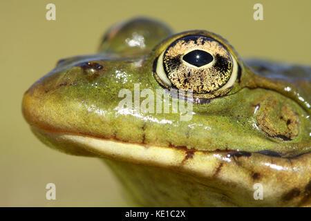 Perez frog (Pelophylax perezi) head - Stock Photo