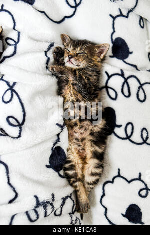 A cute little kitten sleeping in a blanket at home. - Stock Photo