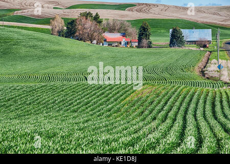 A homestead farm in the Palouse is surrounded by rolling hills of wheat fields. Typical of agriculture in the region, - Stock Photo