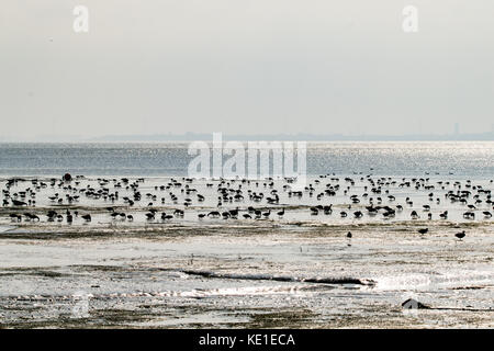 Brent Geese (Branta bernicla) feeding in the mud flats of the Thames Estuary near Southend on Sea, Essex - Stock Photo