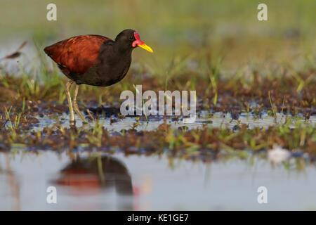 Wattled Jacana (Jacana jacana) perched on the ground in the Pantanal region of Brazil - Stock Photo