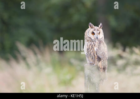 Long eared owl perched on a fence post in blurred long grasses - Stock Photo