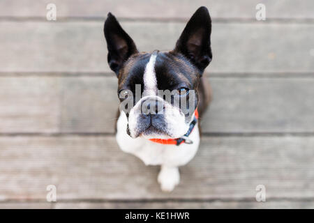 Boston terrier dog on brown terrace looking at camera - Stock Photo
