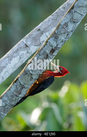 Red-necked Woodpecker (Campephilus rubricollis) perched on a branch in the rainforest of Guyana. - Stock Photo
