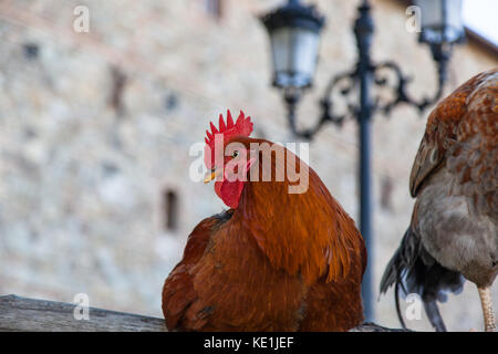A red feathered rooster sitting calmly on a wooden fence in a castle yard. - Stock Photo