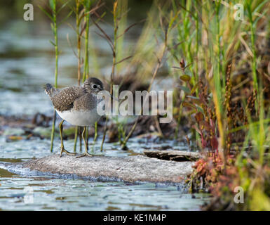 Spotted Sandpiper, Actitis macularia, walking on log Ontario, Canada