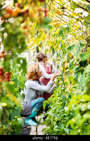 Happy healthy senior woman with her grandaughter harvesting vegetables in greenhouse. Woman and a small girl gardening. - Stock Photo